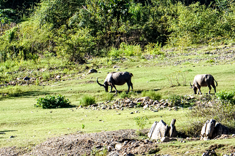 Laos water buffalo
